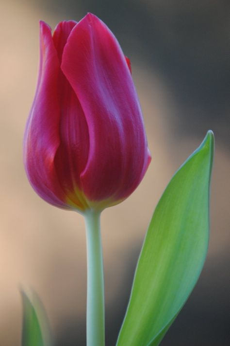 Image result for single tulip""