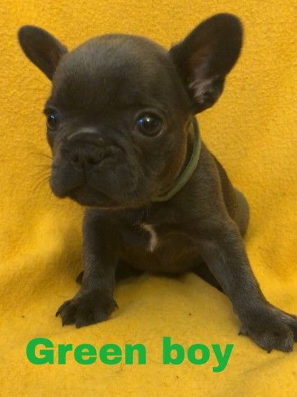 Kc Reg Blue French Bulldog Puppies For Sale French Bulldog Breed