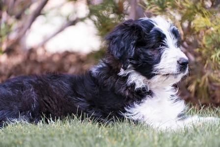Black And White Bordoodle Dog Bordoodle Hybrid Dogs Dog Crossbreeds