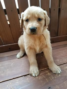 Golden Retriever Puppy For Sale In Mayville Mi Adn 62973 On