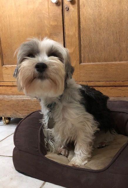 Adopt Suri 3571 On Pet Adoption Yorkshire Terrier Pets