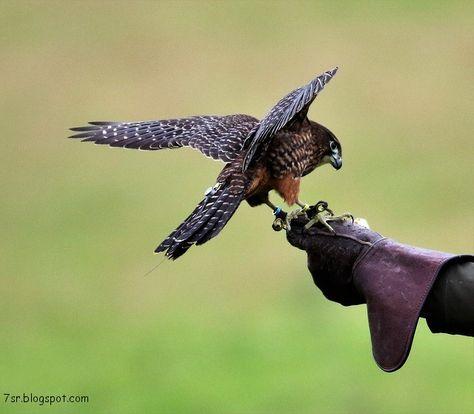 صور صقر خلفيات صقور Hd وبعض المعلومات عن الصقور Hobbies And Interests Eagle Images Hobbies That Make Money