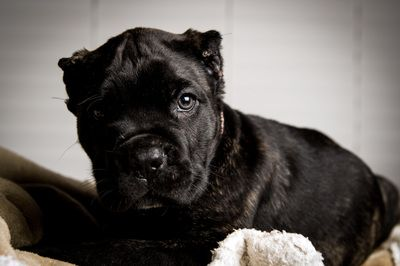 Ohio Dog Breeding Rare Italian Puppies Cane Corso Mastiff For Sale Cane Corso Cane Corso Mastiff Dogs