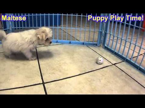 Maltese Puppies For Sale In Omaha Nebraska Ne Lincoln