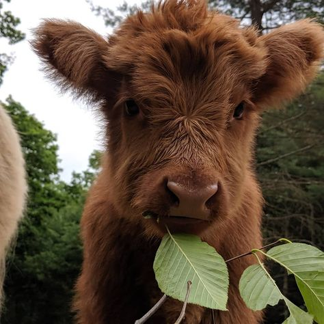 This is my favorite cow. I just absolutely love how cute it is. Yes people, I have a heart. After all a cow is my symbol. Cute Baby Cow, Baby Cows, Cute Cows, Baby Farm Animals, Baby Elephants, Fluffy Cows, Fluffy Animals, Animals And Pets, Wild Animals