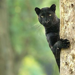 Peek A Boo Nagarhole Archives Made This Image When I Saw This Male Menalistic Leapord With A Female On A Tree Very Close To Animals Wild Cats Cute Animals
