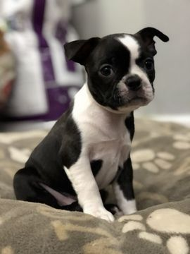 Litter Of 4 Boston Terrier Puppies For Sale In Rochester Wa Adn