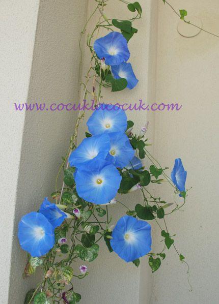 mavi çiçekli sarmaşık
