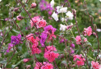 Clarkia Elegans Mountain Garland Flower Seeds Annual Flowers Flowers