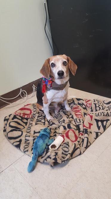 Ernie Is An 8yr Old Beagle Available At Bonnie S Animal Rescue Paramus Nj Beagle Puppy Beagle Dog Beagle