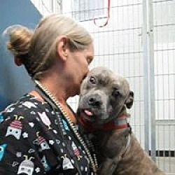 Henderson Nc Pit Bull Terrier Meet Lando A Dog For Adoption