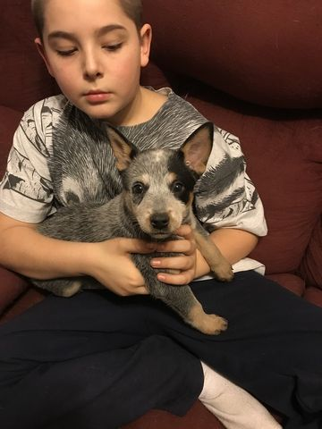 Litter Of 6 Australian Cattle Dog Puppies For Sale In Randolph Vt