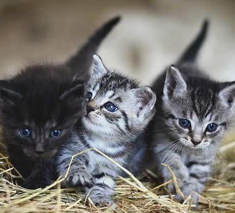 Marshmallow Cat Bed Hot Selling Grey Tabby Kittens Grey Kitten