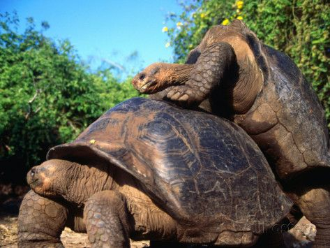 Galapagos Giant Tortoises Mating Geochelone Elephantopus - Jonathan tortoise mind blowing 182 years old