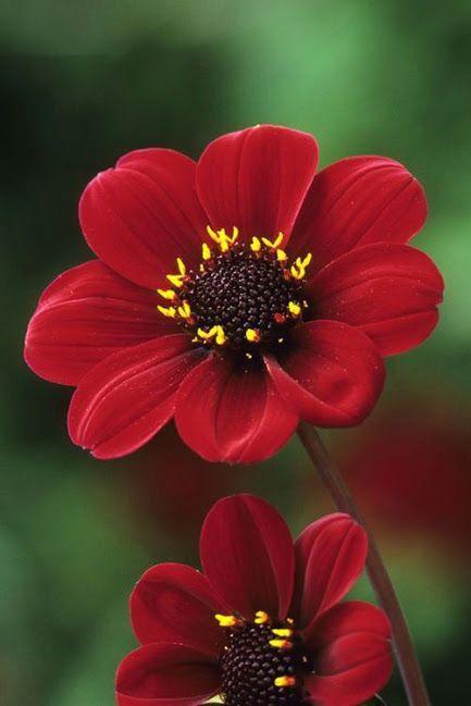 Flowers In 2020 Dahlia Rare Flowers Plants