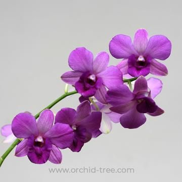 Dendrobium Blue Planet Orchids Dendrobium Orchids Orchid Tree