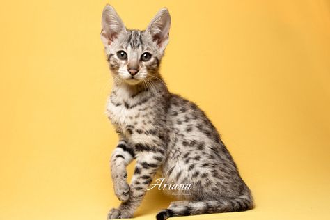 F2 Savannah Kittens For Sale In 2020 Savannah Kitten Savannah Kittens For Sale Kitten For Sale