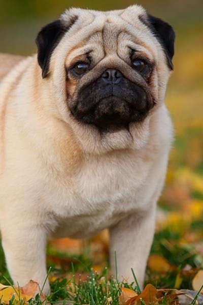 Pug Dog Walking Dog Breeds Popular Dog Breeds