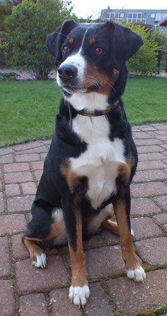 Willkommen Auf Unserer Homepage Appenzeller Sennenhunde Vom Maintalblick Hunderassen Appenzeller Hund Sennenhund