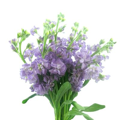 Purple Stock Order And Buy Online At Bunchesdirect Purple Flowers Wholesale Flowers Stock Flower