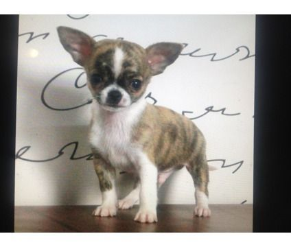 Teacup Chihuahua Puppies 2 5 To 3 5 Lbs Full Grown Perfect Apple