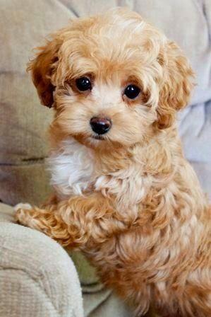 Small lap dog