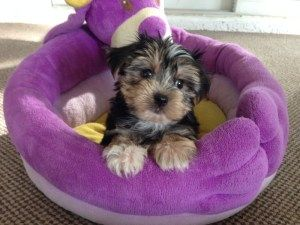 Morkie Pups For Sale Florida Michelines Pups Ocala Pup Cutest Puppy Ever Pet Owners