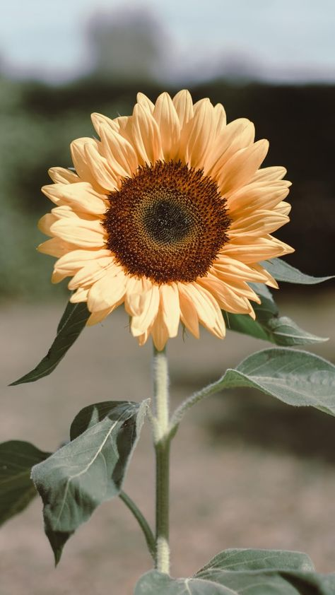 Sunflower #wallpaper #iphone #android #background #followme