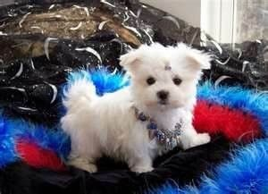 Cute Male And Female Maltese Puppies For Free Adoption Teacup
