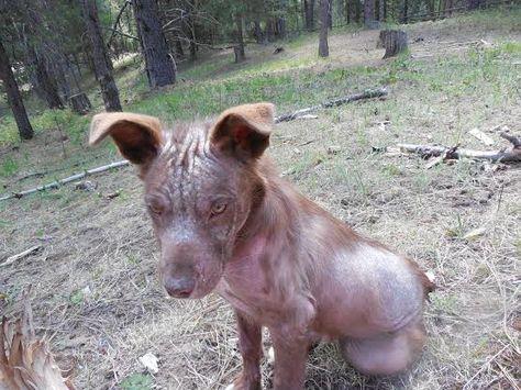 Point de vue d'un vétérinaire sur la démodécie chez les chiens - #chiens #demodecie #point #veterinaire -     Tu vois ce pauvre chien à droite? C'est Boone, que j'ai aidé à soigner pour la démodécie alors qu'il était dans une famille d'accueil (qui est devenue sa maison pour toujours, mais c'est une autre histoire!). Boone est en bonne santé maintenant, mais la démodécie est un problème qui affecte beaucoup de chiens, alors je pensais que vous voudriez en savoir plus à ce sujet. La démodécie es