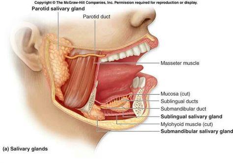 Kết quả hình ảnh cho cấu tạo tuyến nước bọt dưới lưỡi | PHUONGHONG ...