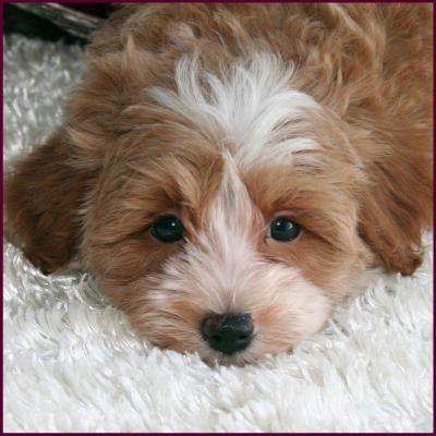 Maltipoo Puppy 4 Sale Maltepoo Maltese Poodle Puppies Iowa With Images Maltese Poodle Puppies Poodle Puppy Maltese Poodle