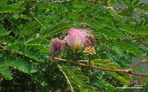 De Perzische slaapboom staat volop in bloei!!