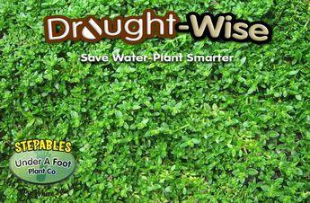 Herniaria Glabra Green Carpet Rupturewort Lawn Alternative That Can Handle Pets Kids Heavy Foot Backyard Grass Alternative Grass Alternative Lawn Alternatives