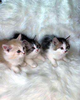 قطة من فصيلة سكوتش استريت الفجيرة 111148 Cats Animals Friendly