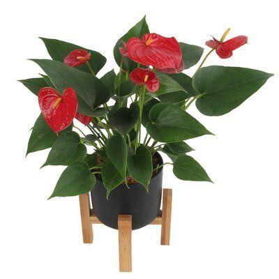10 Live Anthurium Plant In Planter Allmodern In 2020 Anthurium Plant Anthurium Plants