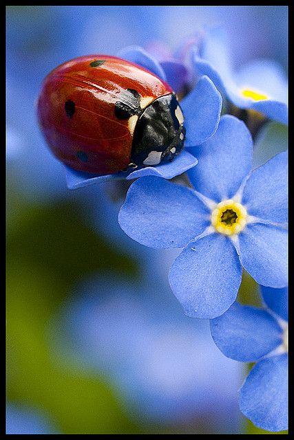 Ladybugs Blue Flower