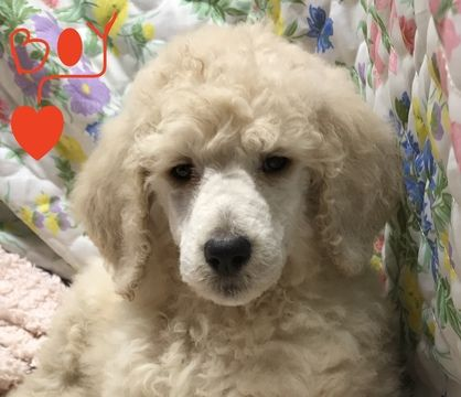Litter Of 7 Poodle Standard Puppies For Sale In Murfreesboro Tn