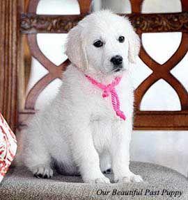 White Golden Retriever Puppies English Cream Akc Certified Holistic Breeder Nj Ny Pa Ct Ma White Golden Retriever Puppy Golden Retriever White White Retriever