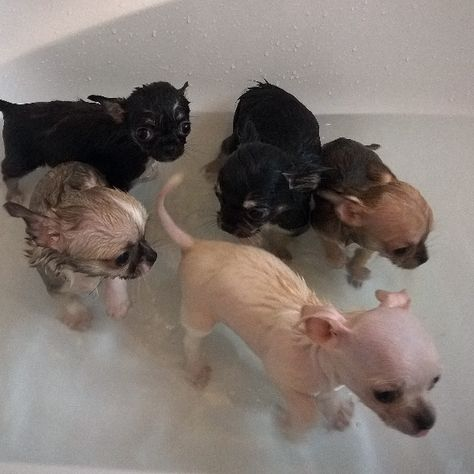 Chihuahua Puppy Bath Time 8 Weeks Old Today Time For A Nice