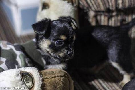 Yorkshire Terrier Dogs For Sale In United Kingdom Skegness You