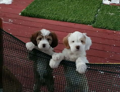 Mail Claire And Peter Sage Outlook Terrier Puppies Tibetan