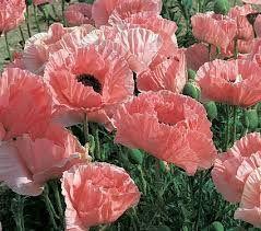 Papaver orientale Türkischer Mohn Pink Sensation