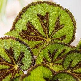 Kwiaty Egzotyczne Doniczkowe Rosliny Egzotyczne Do Domu Zielony Parapet S C Begonia Parapet