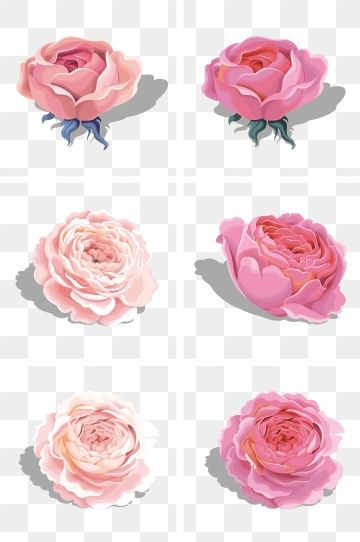 Beautiful Pink Peony Flower Rose Pink Rose Flower Png Transparent Clipart Image And Psd File For Free Download