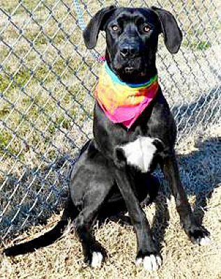 Oswego Il Great Dane Meet Lilly A Pet For Adoption Great