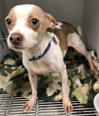 Morton Grove Il Chihuahua Meet Tony A Pet For Adoption Small Breed Dogs Urgent Rescue Adoption Pet Adoption Dogs Pets
