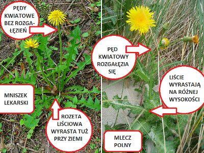 Mniszek Lekarski Opis Zastosowanie Wlasciwosci Przepisy Botanical Book Cover