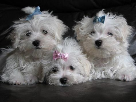 Stunning Kc Reg Maltese Puppies For Sale In Huyton Liverpool