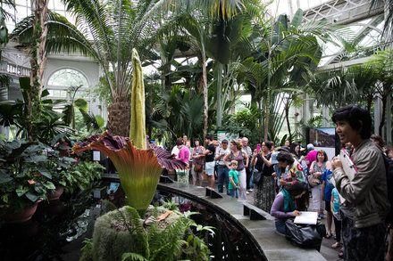 New York Today Where The Corpse Flowers Bloom By Jonathan Wolfe Corpse Flower Bloom Corpse Flower Flowers